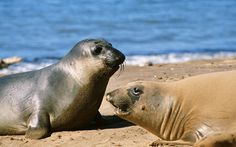 seal pictures free for desktop, 606 kB - Bramwell Fletcher