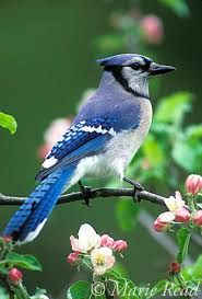 The blue jay is a beautiful bird.