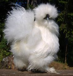 Beautiful white silkie cockerel - Catdance Silkies