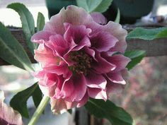 "Lenten Rose 'Harvington Double Red'. Helleborus x hybridus. 12-18"" tall. Blooms Feb-April."