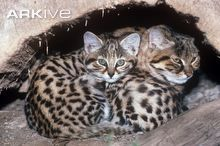 Black-footed cat with kitten (wild cat from Africa)