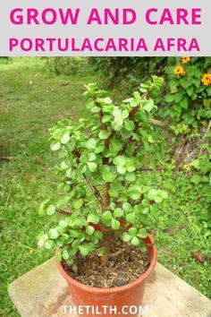 "Portulacaria afra ""Elephant Bush Care"" Elephant Food, Types Of Succulents, Succulent Care, Dwarf, Jade, Plants, Plant, Planets"