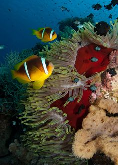 Clownfish, anemone, coral reef