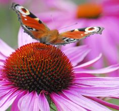 Peacock butterfly on Echinacea