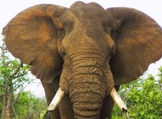 California can help protect iconic African animals like elephants, lions, giraffes, and many more from the horrors of trophy hunting, if a bill that has moved to the floor is passed into law. Demand the preservation of these animals and the passage of The Iconic African Species Protection Act.