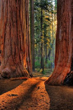 Redwoods California. The biggest trees in the world. Would love to see this!
