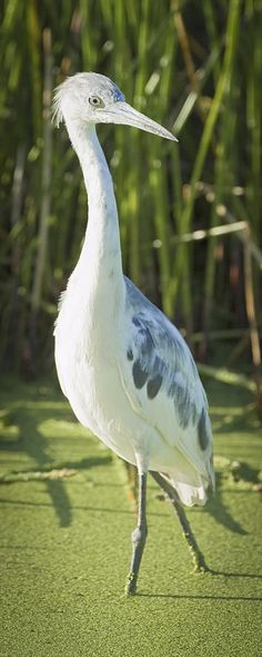 Young Little Blue Heron Photograph  - Young Little Blue Heron Fine Art Print