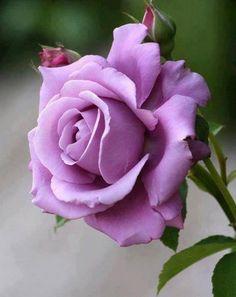 lavender rose - flowers Photo