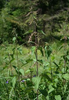Despite their ability to deliver painful stings when handled, stinging nettles have been used for thousands of years for food, clothing and medicine.