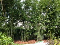 BLG Environmental Services is a leader in landscape and hardscape design and construction, irrigation and lighting in Orlando FL and Maitland, Florida area Bamboo Hedge, Backyard Ideas, Garden Ideas, Hedge Trees, Privacy Plants, Hardscape Design, Fast Growing Trees, Park Landscape, Woodland Garden