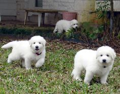 Pictures Of Great Pyrenees Puppies Pyrenees Puppies, Great Pyrenees Puppy, Dog Pictures, Animal Pictures, Animals And Pets, Cute Animals, Top Dog Breeds, White Dogs, Dog Show