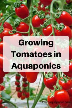Growing tomatoes in aquaponics can be a challenging task. Read more about having a tomatoes aquaponics system in your backyard. Aquaponics System, Aquaponics Greenhouse, Aquaponics Plants, Hydroponic Gardening, Hydroponics, Growing Tomatoes, Growing Vegetables, Organic Farming, Organic Gardening