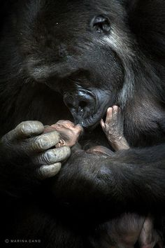 Mountain Gorilla with baby