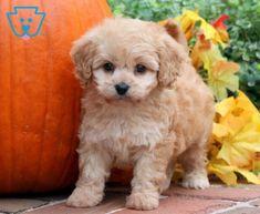 Patchie | Cavachon Puppy For Sale | Keystone Puppies