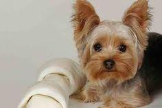Risultati immagini per cani yorkshire cuccioli