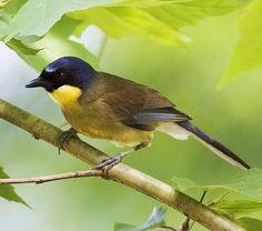 Birds of the World: Yellow-throated laughingthrush