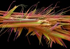 #Caffeine crystals - This false-colored scanning electron micrograph (SEM) shows caffeine crystals. In plants, caffeine functions as a defence mechanism. Found in varying quantities in the seeds, leaves and fruit of some plants, caffeine acts as a natural pesticide that paralyses and kills certain insects feeding on the plant. The whole crystal group is 40 microns in length. Credit: Annie Cavanagh / Wellcome Images