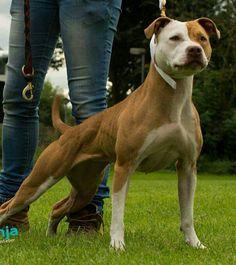 Pit Dog, American Pitbull, Staffordshire Bull Terrier, Hunting Dogs, Shtf, Pitbull Terrier, Canes, Pit Bull, Trust