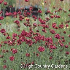 Dianthus pinifolius  Pineleaf Garden Pink