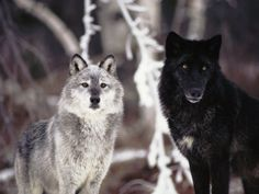 Old Son Speaks: The Wolves: Guest Blog, by Donnell Hunter