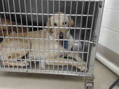01/06/17~~ SUPER SUPER URGENT - HOUSTON this DOG - ID#A475019 I am a female, yellow Labrador Retriever. The shelter staff think I am about 2 years old. I have been at the shelter since Jan 04, 2017. This information was refreshed 54 minutes ago and may not represent all of the animals at the Harris County Public Health and Environmental Services.
