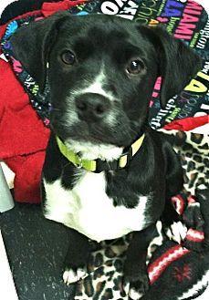 Toms River, NJ - Labrador Retriever/Hound (Unknown Type) Mix. Meet Laura, a puppy for adoption. http://www.adoptapet.com/pet/12317081-toms-river-new-jersey-labrador-retriever-mix