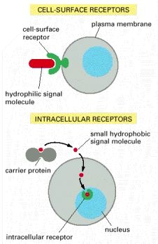 Figure 15-3. The binding of extracellular signal molecules to either cell-surface receptors or intracellular receptors.