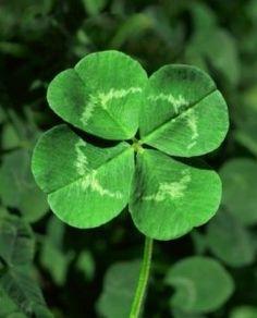 Four leaf clover…