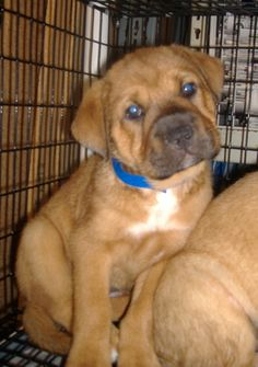 this is a boxer/shar pei mix pup.  i want him!!