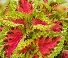 Fairway Salmon coleus seeds - garden seeds - Annual Flower Seeds