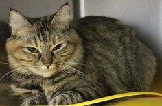 Intake: 12/16 Available: Now  NAME: Lil Mama ANIMAL ID: 30417896 BREED: Maine Coon mix  SEX: Spayed Female  EST. AGE: 5 yrs  Est Weight: 8.12 lbs  Health: Combo negative  Temperament: Friendly ADDITIONAL INFO: O/S  RESCUE PULL FEE: $39