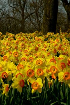 "Daffodils in the ""Keukenhof"" the Netherlands"