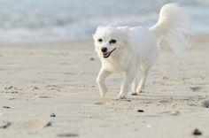 Strandausflug: Ein Chihuahua-Hund genießt das Leben — Bild: Shutterstock / AnetaPics    www.einfachtierisch.de