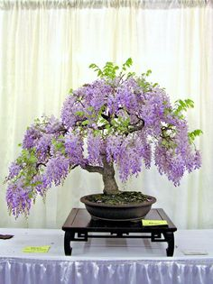 Seeds - 5 Wisteria sinensis - Chinese Wisteria Bonsai Seeds + Free Seeds & Bonsai eBook - Exotic was listed for on 18 Sep at by Seeds and All in Port Elizabeth Wisteria Trellis, Wisteria Bonsai, Purple Wisteria, Purple Flowers, Wisteria Wedding, Indoor Bonsai, Bonsai Plants, Garden Plants, Indoor Plants