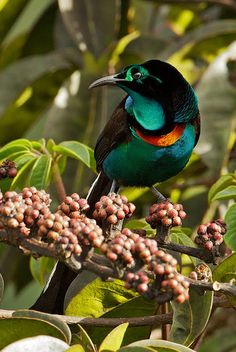 The astrapias are a genus, Astrapia, of birds-of-paradise. The genus contains five species. They are endemic to New Guinea. The males have highly iridescent plumage and remarkably long tails. Females are duller and have shorter tails.