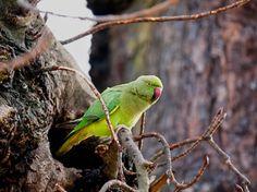 Wild Indian Ringneck Parrots of London: