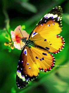 Butterflies:  Borboleta pintada #butterfly, by Bruno Sousa.
