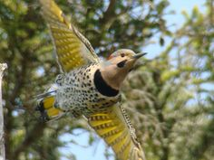Alabama State Bird - Yellowhammer Would love to get a tattoo of this bird as there are tons of northern flickers in Colorado and it's my home state's official bird