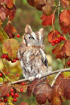 Eastern Screech Owl among the autumn berries (Spring Noel) Screech Owl, Owl Always Love You, Beautiful Owl, Wise Owl, Tier Fotos, Owl Art, Birds Of Prey, Bird Watching, Bird Feathers