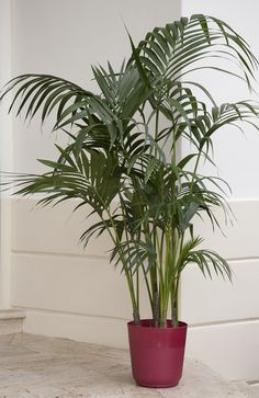 Just bought one for lvg rm -- Cat palm is smaller than other palms and is ideal for small spaces such as apartments; it grows just 3 to 6 feet tall. Native to southern Mexico and Central America, Cat palms make lush additions on outdoor patios as well. Cat palms do best in bright light and moist (but not wet!) soil.  Botanic name: Chamaedorea cataractarum Care tip: Cat palms don't like dry soil, so make sure they are well hydrated.