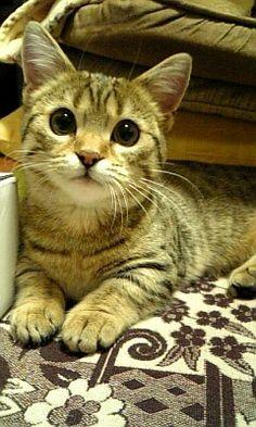 My cat Munchkin マンチカン