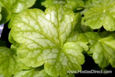 """""""Havana"""" Heuchera (Coral Bell) - Yellow-lime colored leaves with a beautiful white center. Produces hot pink blooms that last spring through summer!"""