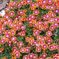 Plant Select winner Fire Spinner Ice Plant is an astonishing sight in full bloom. In late spring, its vibrant tri-colored flowers cover the tight evergreen mat of succulent foliage. A heat loving groundcover. Water Wise Landscaping, Garden Landscaping, Love Flowers, Beautiful Flowers, Ice Plant, Cactus Y Suculentas, Plantation, Drought Tolerant, Dream Garden