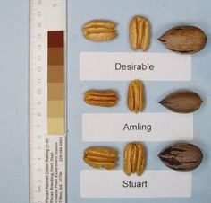 Amling pecan trees have beautiful dark green foliage and excellent resistance to most pests. The medium sized nuts have a high quality kernel and are easy to shell.  A favorite cultivar for a yard tree as it produces nuts with minimal care and no sprays. Scab resistance is excellent, and harvest date is early.