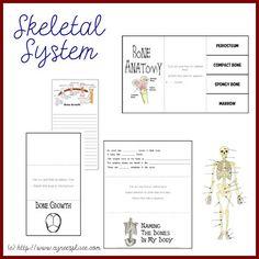 Anatomy Lapbook – Skeletal System