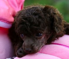 poodles for sale | ... Poodles for sale, Parti Poodles, Poodle Puppies, Toy Poodles, Poodle