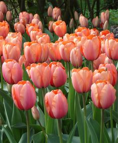 Tulip Apricot Impression - Giant Darwin Hybrid Tulips - Tulips - Fall 2014 Flower Bulbs