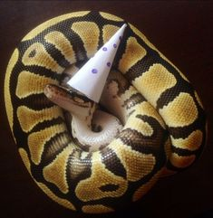 Pictures of cute snakes with hats that will make your day brighter. Not only that, you will know what is the best small pet snakes for beginner. Snakes With Hats, Kinds Of Snakes, All About Snakes, Cute Reptiles, Reptiles And Amphibians, Animals And Pets, Baby Animals, Cute Animals, Best Small Pets