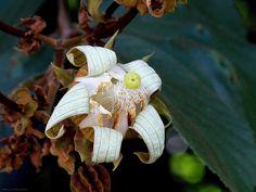 Luehea grandiflora