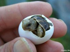 welcome to the world - I've never seen a little turtle cracking open the shell.